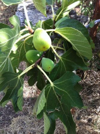 Galant: arboles frutales