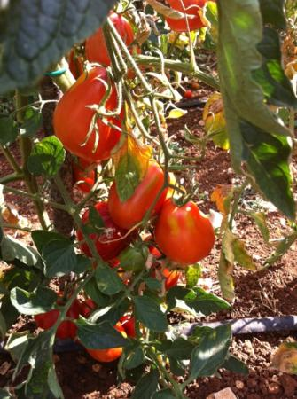 Galant: muy buenos los tomates