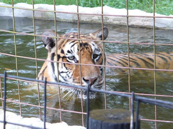 Big Cat Rescue: Bengali in her Pool