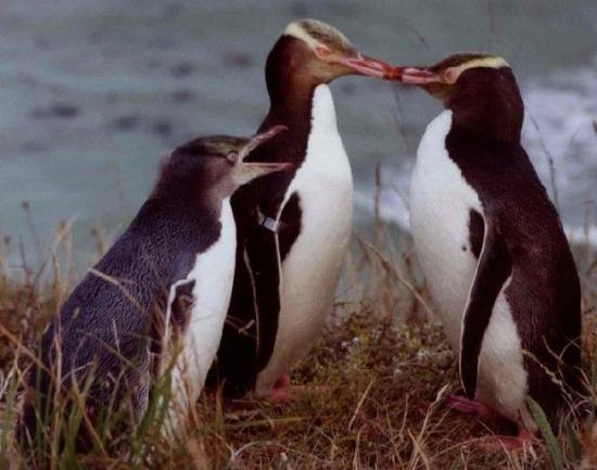 Mike & Jennys Kaka Point Accommodation: Yellow-eyed Penguins