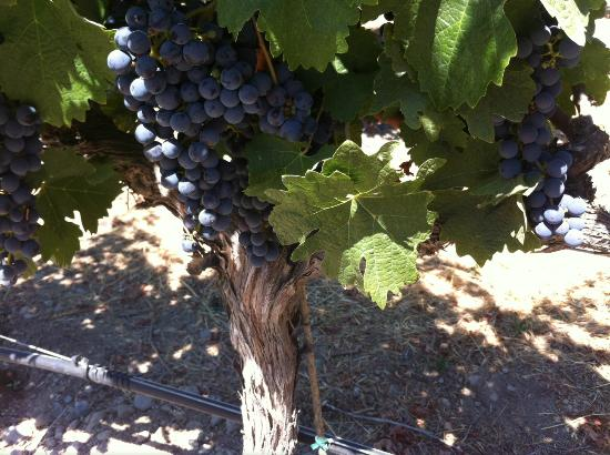 William Hill Estate Winery: Cabernet Sauvignon grapes in mid-August