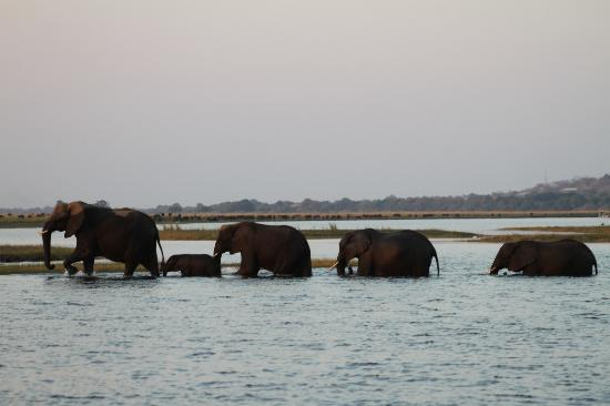 Sanctuary Chobe Chilwero: Elephants crossing