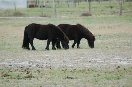 Bullsbrook Chalets : Ponies to feed!