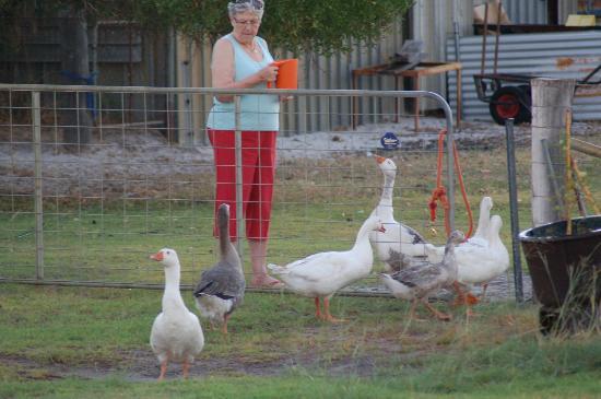 Bullsbrook Chalets : Geese as well!