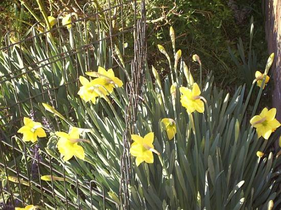 Tranquilles Luxury Spa B&B Guest House: Beautfil daffodils that herald the spring