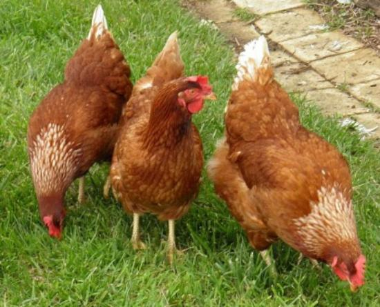 Tranquilles Luxury Spa B&B Guest House: Our hens lay great eggs for breakfast and our cooking