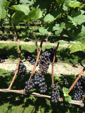 Pelee Island Winery : Pinot Noir grapes on the arbor.