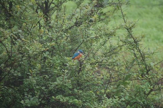 The Machan: Resident Kingfisher - Comes atlest once a day - check reception for timings ;)