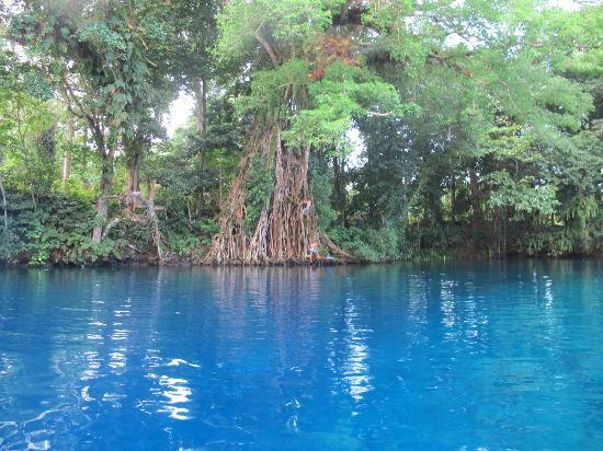 Espiritu Santo, Vanuatu: old banyon tree on bank Matevulu blue hole