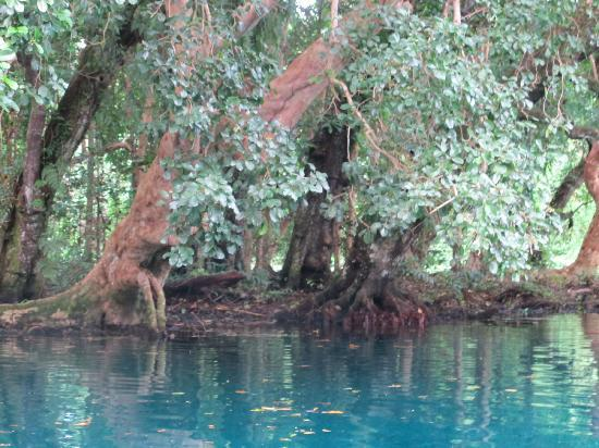 Matevulu Blue Hole: old trees line the banks of the Matevulu river