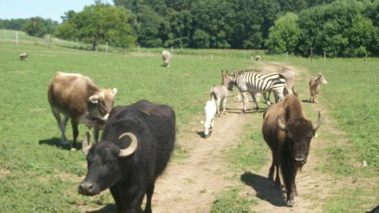 Dutch Creek Farm Animal Park: All the animals following the wagon