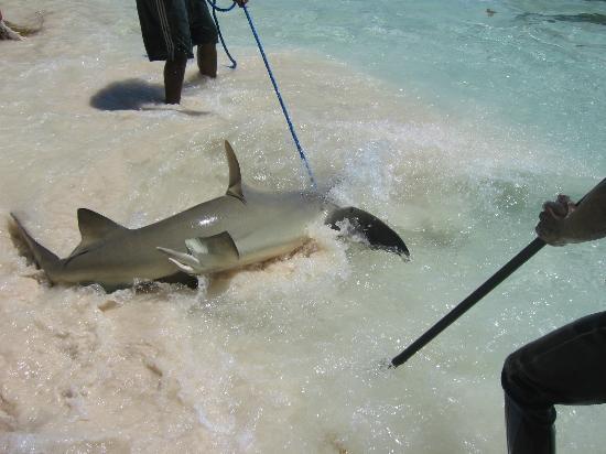 Atlantis - Harborside Resort: Yep Shark Wrangling!!