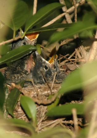 Ashford Manor Bed and Breakfast: Baby birds in nest just off the front porch.