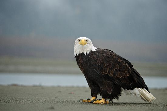 Haines, AK: Bald Eagle - Photo by Andy Hedden