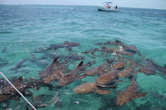 sharks at Hol Chan - Picture of Hol Chan Marine Reserve ...