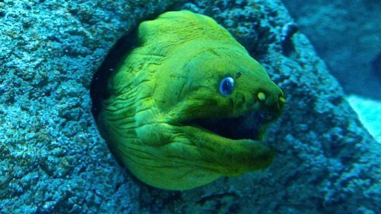 Aquarium de Biarritz: murene