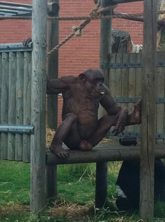 Atherstone, UK: this monkey has no hair