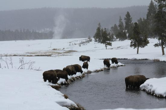 ‪هوليداي إن - وست يلوستون: Bison in Yellowstone
