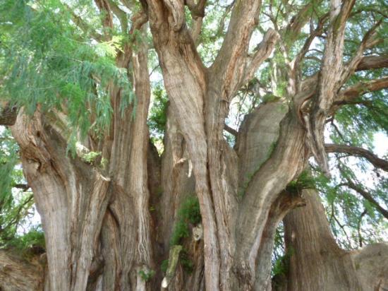 Santa Maria del Tule, Mexico: El tronco del árbol del Tule,Oaxaca