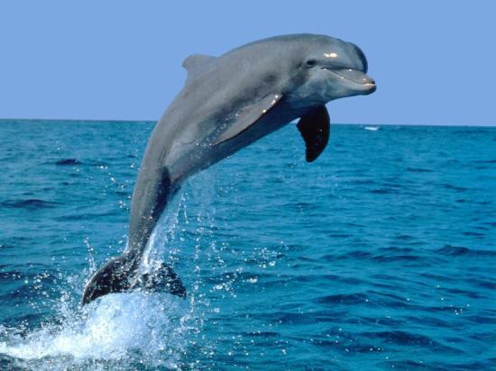 Dreamlander Tours: DOLPHIN PLAYING IN THE GULF OF MEXICO