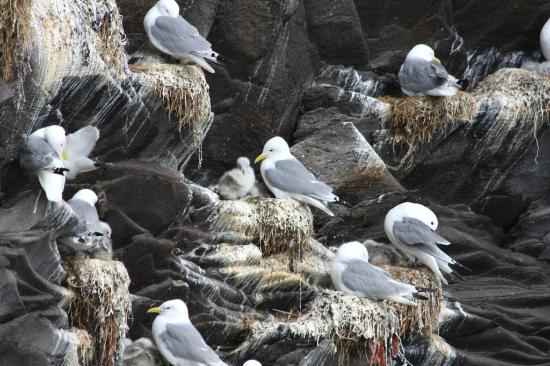 Iceland Travel - Day Tours: Kittiwakes and chicks along the path