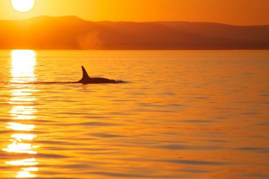 Sidney Whale Watching: Whales at sunset