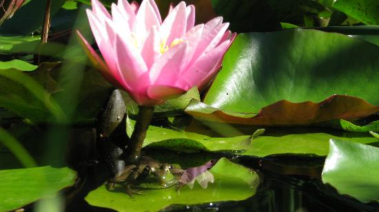 Adventure the Bruce Inn: Lovely little lilly pond with lots of inhabitants