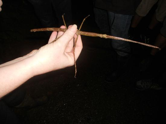 The Night Tour with Tracie The Bug Lady: huge walking stick!