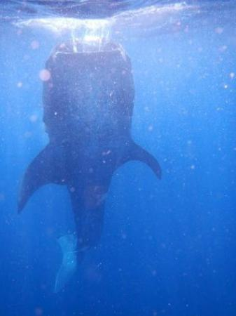 Holbox Whale Shark Tours with Willy's Tours : whale shark digesting its lunch, isla holbox
