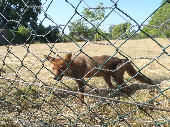 Chateau St Jacques Calon: The wiley fox trapped !!