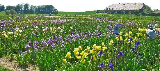 Field of iris picture of les jardins du chateau de for Aubade jardin d iris