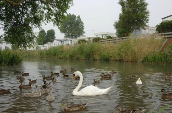 Heacham Beach Holiday Park - Park Resorts: Swans and ducks on the little stream at the back of the park
