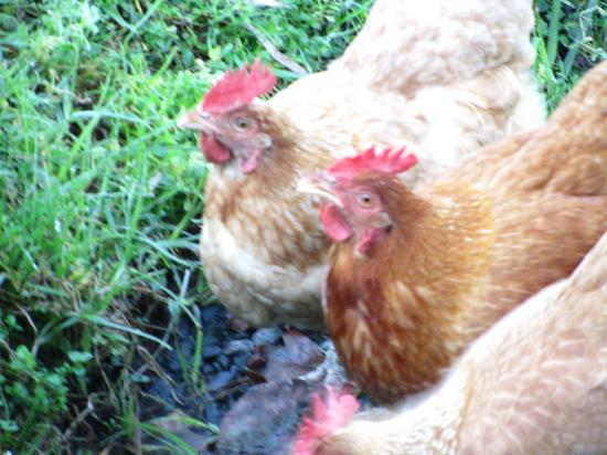 Crystal Creek Meadows Luxury Cottages & Spa Retreat: Local chooks are gorgeous!!