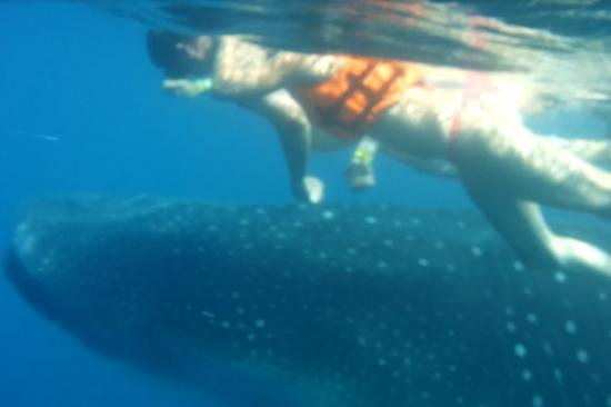 Duende - Day Tours: Swiming with a whale shark