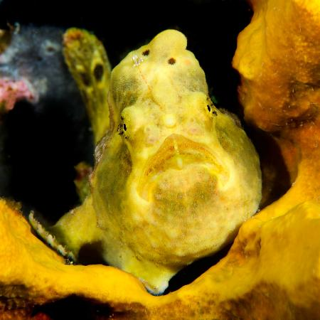 Dive Bequia: Yellow Frog Fish (thank you Polly !)