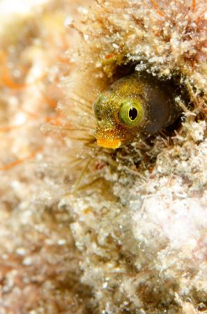 Dive Bequia: Secretary Blenny