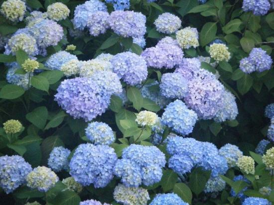 Hydrangea House Inn: Beautiful gardens