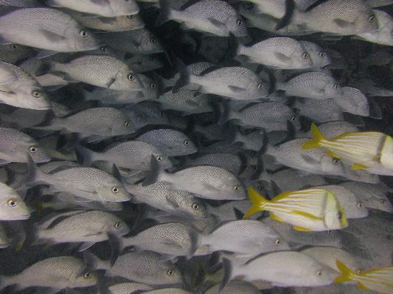 Diversity Diving: Schol vissen