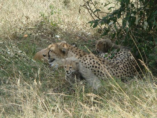 Porini Lion Camp : Cheetah mom and cubs