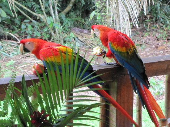 Tambopata Research Center: Watch out for the parrots - they will steal your breakfast.