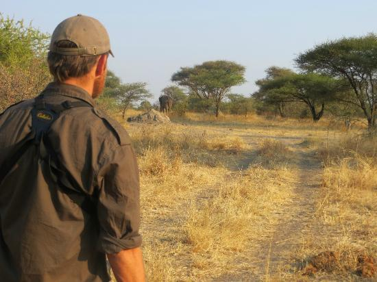 Manyara Ranch Conservancy: Walking safari with bull elephant nearby