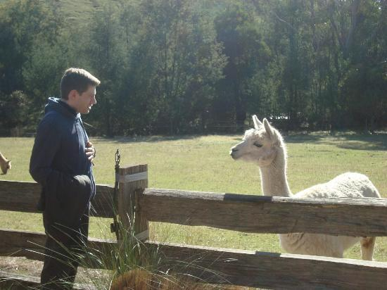 Tin Dragon Trail Cottages: Friendly Alpacas