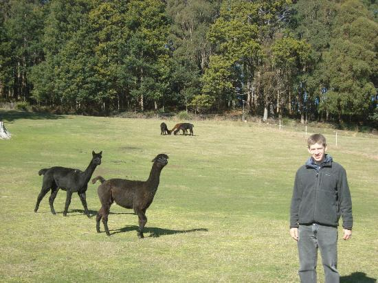 Tin Dragon Trail Cottages: More Alpaca Friends