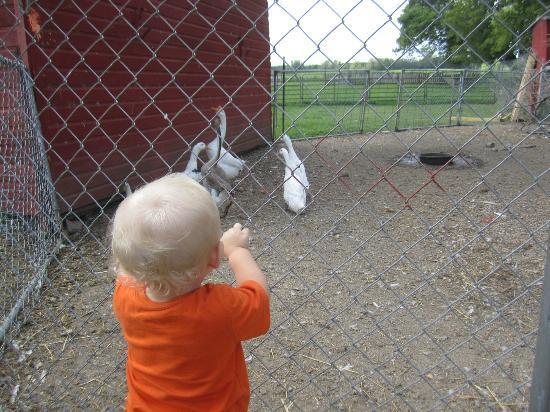 Erickson's Petting Zoo: Geese!