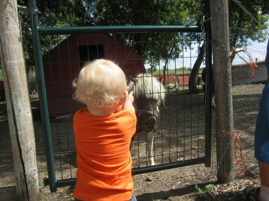 Erickson's Petting Zoo: Ponys and Llamas!
