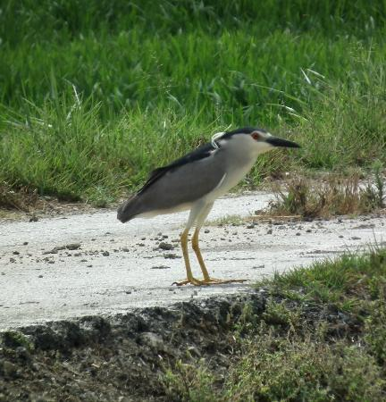 Valencia Birding Birdwatching Tours: Night Heron