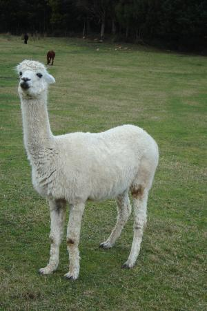 Tin Dragon Trail Cottages: George, a very popular & friendly alpaca
