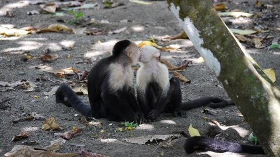 Casa Horizontes Corcovado: Monkeys cleaning eachother