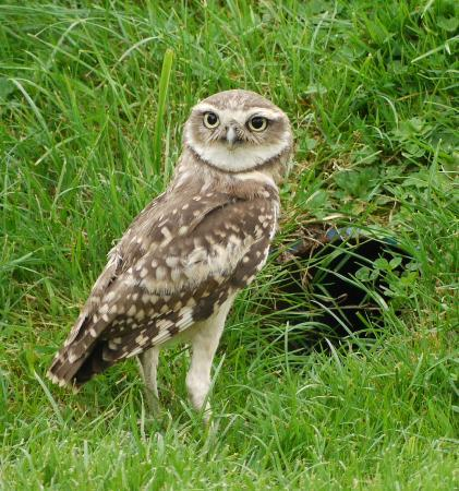 The International Centre for Birds of Prey: Burrowing Owl - guess what happened next?