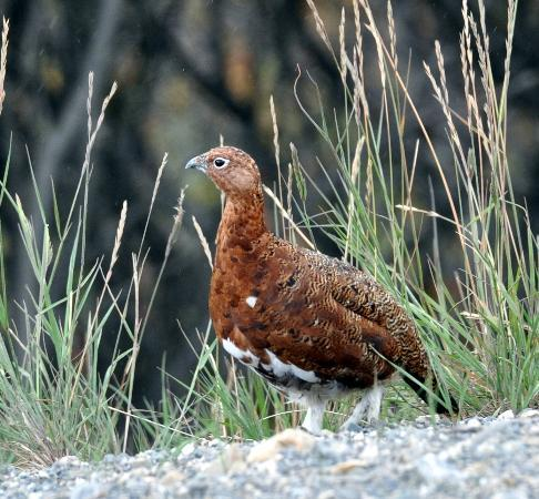 Camp Denali: Willow Ptarmigan